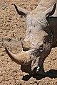 White Rhino (Ceratotherium simum) close-up (33046816216).jpg