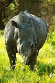 White Rhino cow in Kwafubesi, Limpopo Provence South Africa.jpg