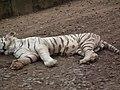 White Tiger from Bannerghatta National Park 8508.JPG
