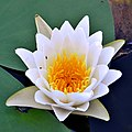 White Waterlily (4778746186).jpg