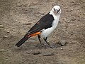 White headed buffalo weaver Dinemellia dinemelli in Tanzania 3045 Nevit.jpg
