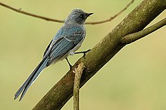 White tailed blue flycatcher.jpg