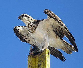 Osprey - Australasian subspecies is the most distinctive