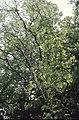 Wild Service Tree in Thundersley Plotlands - geograph.org.uk - 1565282.jpg