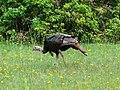 Wild Turkey-27527-1.jpg