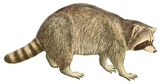 Procyonidae - Image: Wild animals of North America, intimate studies of big and little creatures of the mammal kingdom (Page 410) (white background)