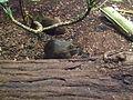 Wildmeerschweinchen Frankfurt Zoo.jpg