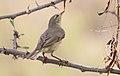 Willow Warbler (Phylloscopus trochilus) (32701216288).jpg