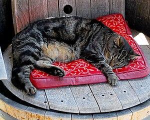 Templeton, California - Winery Cat at  Rotta Winery, Templeton