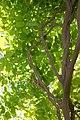 Wisteria sinensis Plena 0zz.jpg