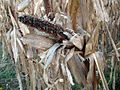 Withered corncobs.jpg