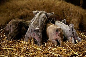 Mangalica - Piglets of Mangalica pig (about one month old) in Münsterland, Germany