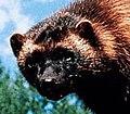 Wolverinehead.jpg