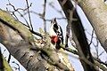 Woodpecker - March 2010 (4450946701).jpg