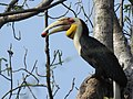 Wreathed hornbill1.jpg