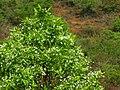 Wrightia tinctoria 022.jpg