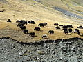 Yak herd on hillside, while were eagle hunting. (3968105895).jpg