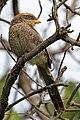 Yellow-billed Shrike (8405603560).jpg
