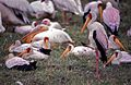 Yellow-billed Storks (Mycteria ibis) (8291936788).jpg