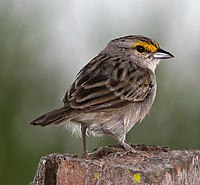 Yellow-crowned Sparrow.jpg