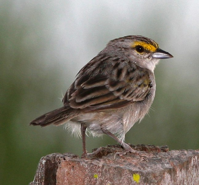 Ficheiro:Yellow-crowned Sparrow.jpg