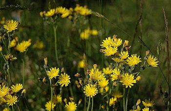 Yellow Hawkweed.jpg