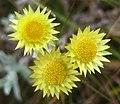 Yellow Helichrysum (4651948180).jpg