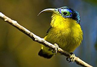 Yellow-bellied sunbird-asity species of bird