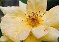 Yellow bloom (37414449375).jpg