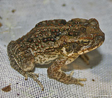 A juvenile cane toad, showing many of the features of the adult toads, but without the large parotoid glands