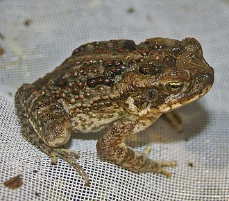 Cane toad - Young cane toad