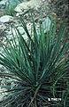 Yucca arkansana fh 1180.74 TX B.jpg