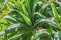 Yucca flaccida in Christchurch Botanic Gardens 02.jpg