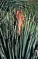 Yucca whipplei fh 1177 CAL BB.jpg
