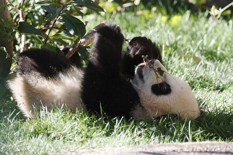 File:Yun Zi - Baby Giant Panda - IMG 1648 (4306244194).jpg