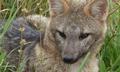 ZORRO DE MONTE - FOX OF MOUNT - Cerdocyon thous 4.png