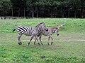 Zebra Opole.jpg