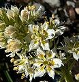 Zigadenus paniculatus 5.jpg