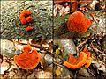 Zinnober-Tramete (Pycnoporus cinnabarinus) - Jungstadien - hms(1).jpg