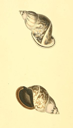 Zoological Illustrations Volume I Plate 4.jpg