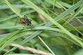 Zweefvlieg - Syrphidae (29513154306).jpg