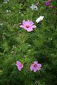 'Cosmos bipinnatus' Clavering Essex England 2.jpg