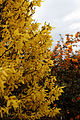 'Forsythia' - at Great Saling Essex England.jpg