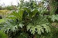 'Gunnera manicata' Capel Manor College Gardens Enfield London England.jpg