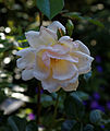 'Rosa Breath of Life' rambler rose Capel Manor College Gardens Enfield London England.jpg