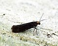 (0449) Ash Bud Moth (Prays fraxinella) (7285073138).jpg