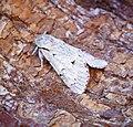 (2280) The Miller (Acronicta leporina) (35517997840).jpg