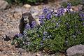 (3) Marmota caligata (Hoary Marmot).jpg