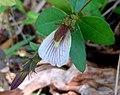 (Blepharis maderaspatensis) at Kambalakonda 08.JPG