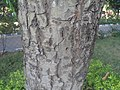 (Calophyllum inophyllum) at VUDA Park 07.JPG